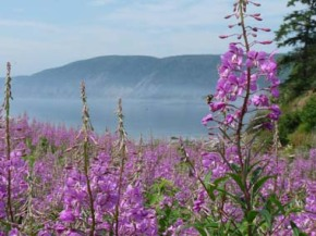 The Fireweed Blooms as the Three WeeksContinue